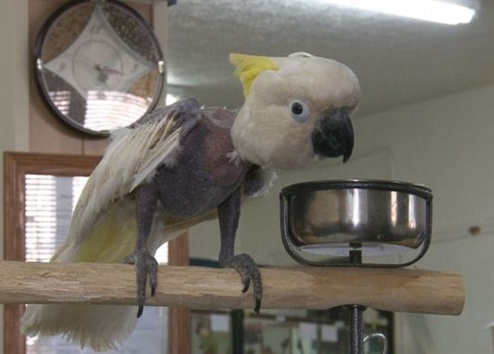Cockatoo from a Meth Lab