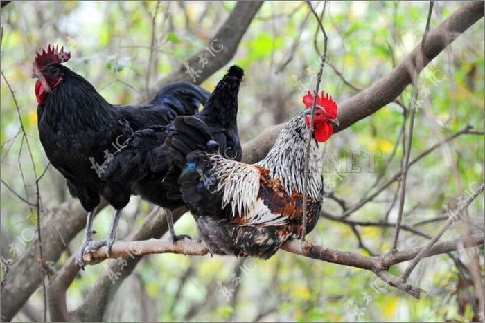 Roosters with Glasses