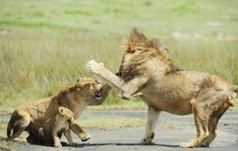 Lion Family. Lioness Protects the Cub