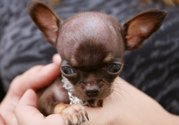 Chihuahua Milly is the World's Smallest Dog