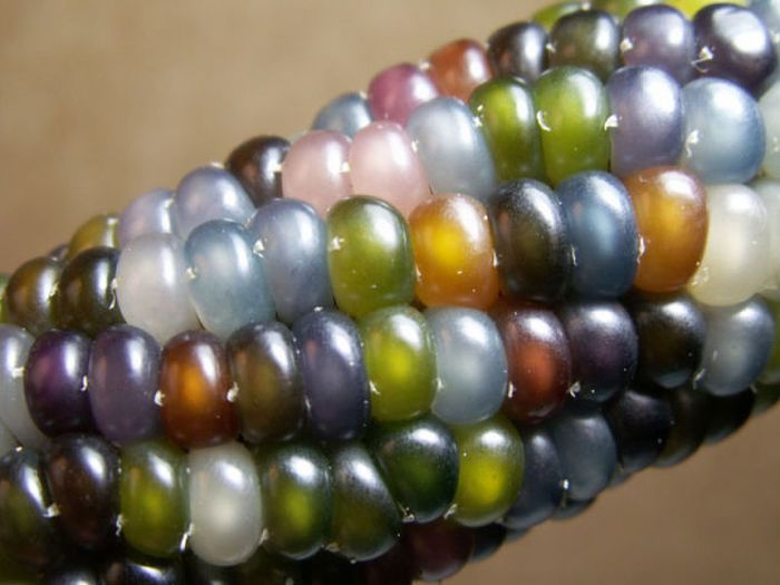 Colored Corn