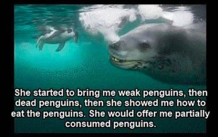 Friendly Leopard Seal and a Photographer