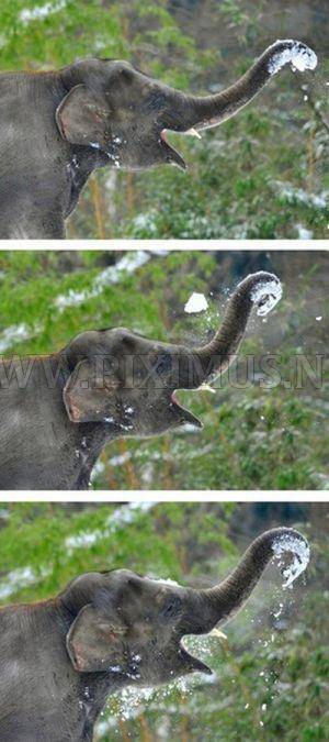 Elephants Playing in Snow at the Berlin Zoo