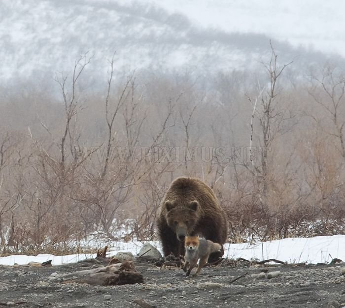 Fox Is Being Chased By A Bear Animals