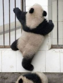 Panda Falls Down