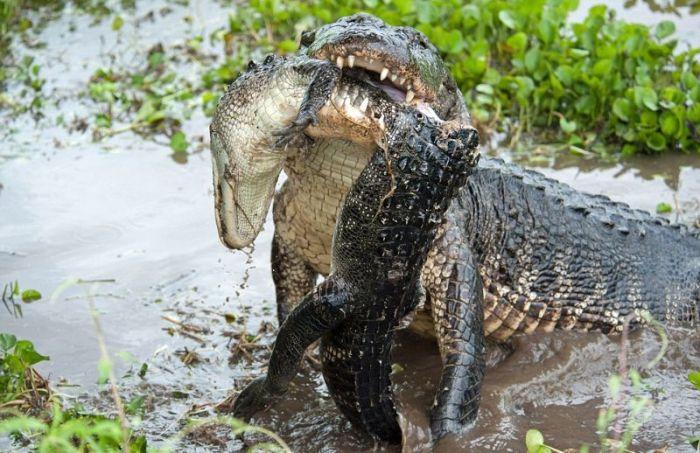 Alligator Eats Alligator