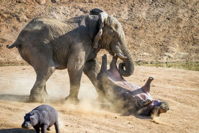 Elephant Attacks a Hippo Mom
