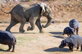 Elephant Attacks a Hippo Mom