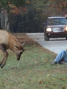 Elk Attacks a Photographer