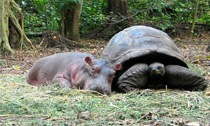 Orphan Hippo and His 130-Year-Old Friend