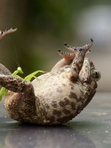 Toad Gets Tickled by a Praying Mantis