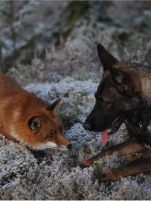 Fox and Dog