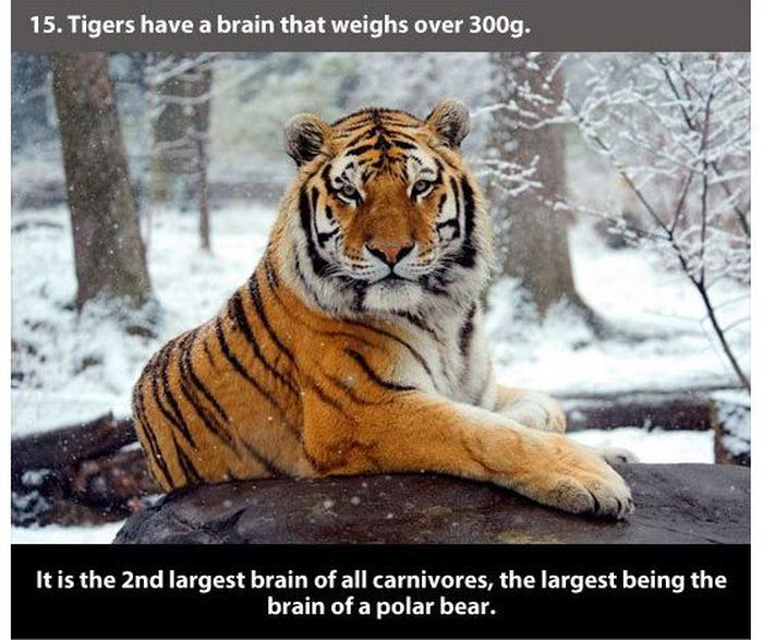 Facts about Tigers