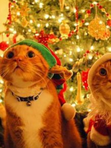 Funny Christmas Cats