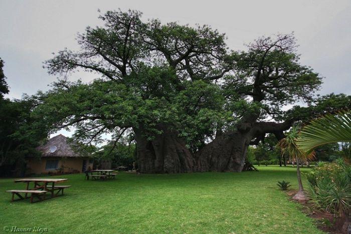 Baobab Tree Bar