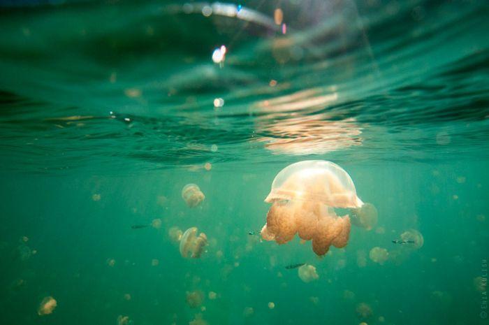 Jellyfish Lake