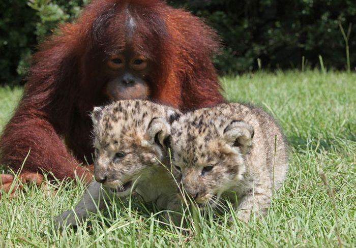 Lion Cubs with Their New Dad