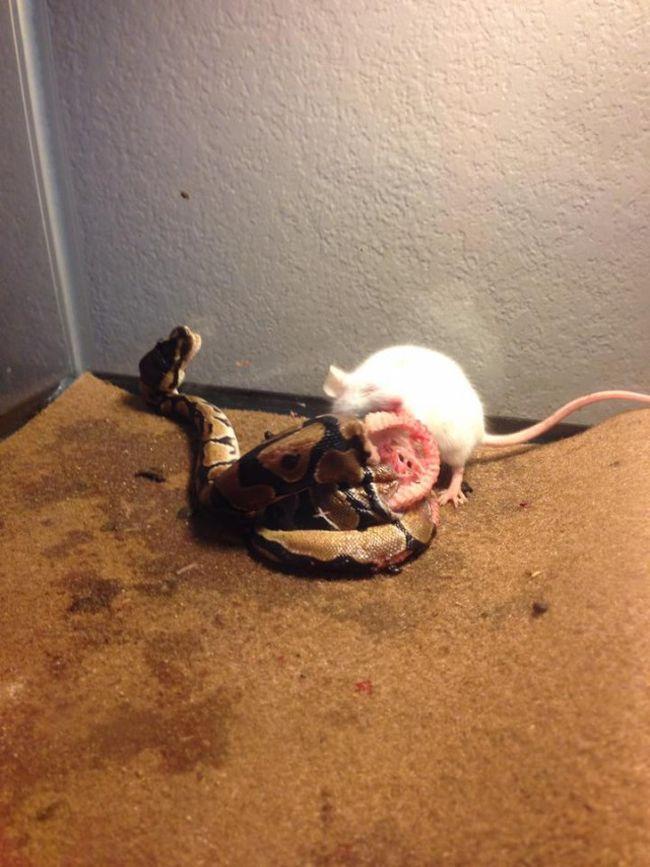 Rat vs Snake