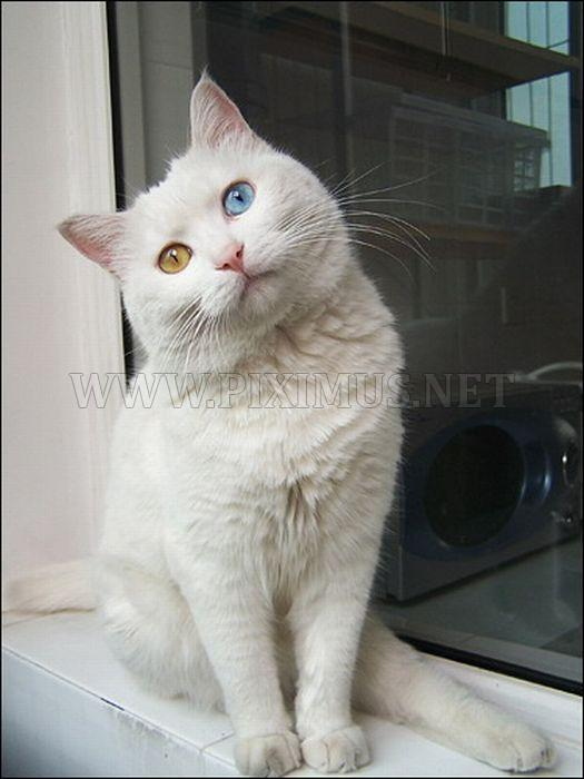 Cat with Two Different Color Eyes