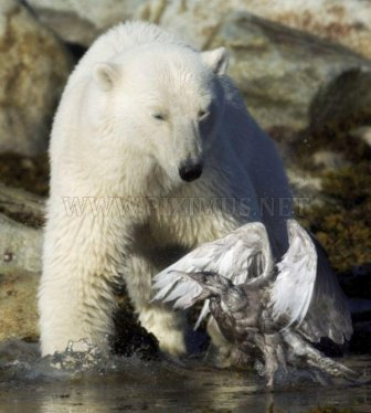 Bear vs Seagull