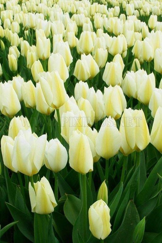 Tulip fields in Holland