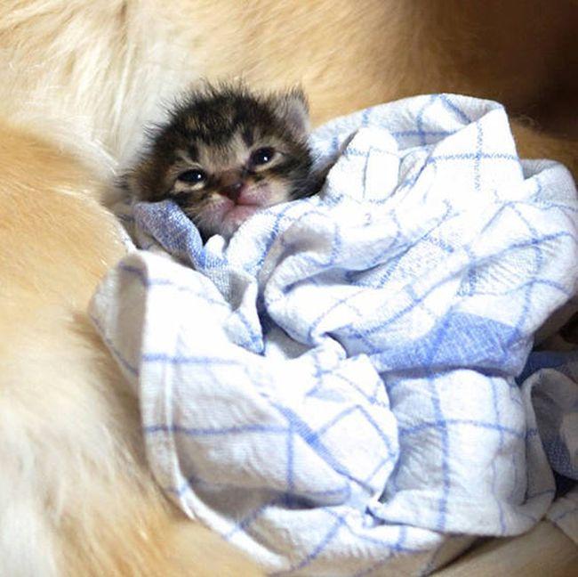 Golden Retriever Adopts a Kitten