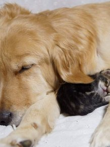 Golden Retriever Adopts a Kitten