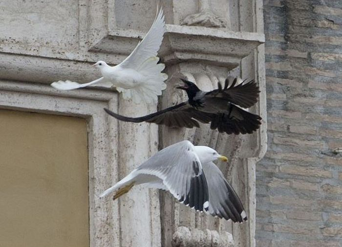 Dove of Peace Attacked by Seagull