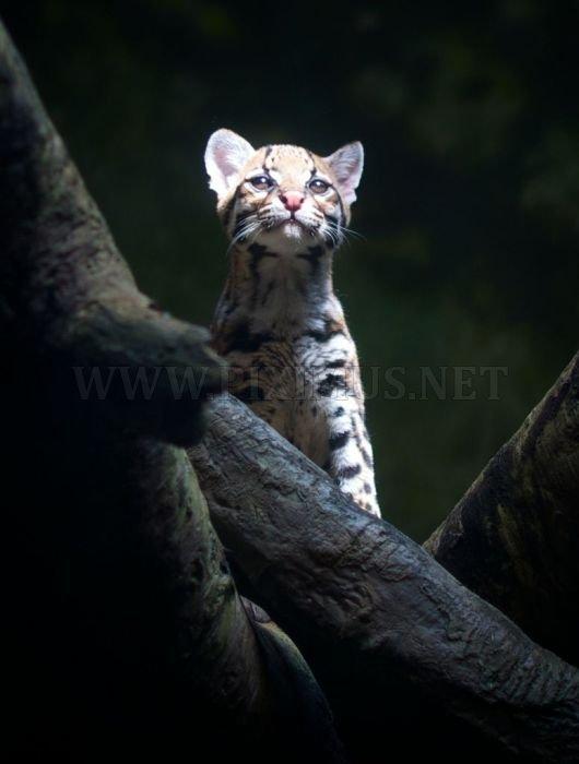 Ocelot Cat