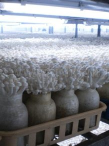 How To Grow Chinese Mushrooms