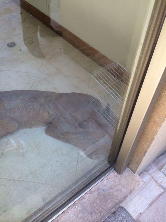 Cougar Broke into a House