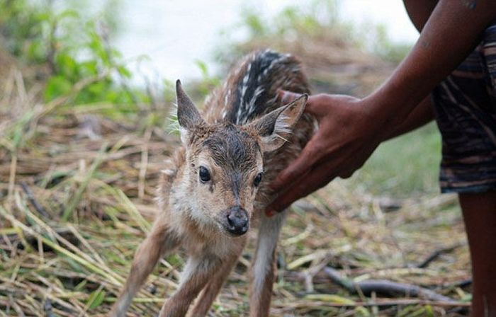 Boy Saves a Fawn