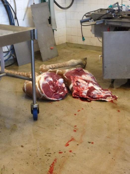 Marius the Giraffe Killed at Copenhagen Zoo
