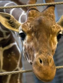 Marius the Giraffe Killed at Copenhagen Zoo