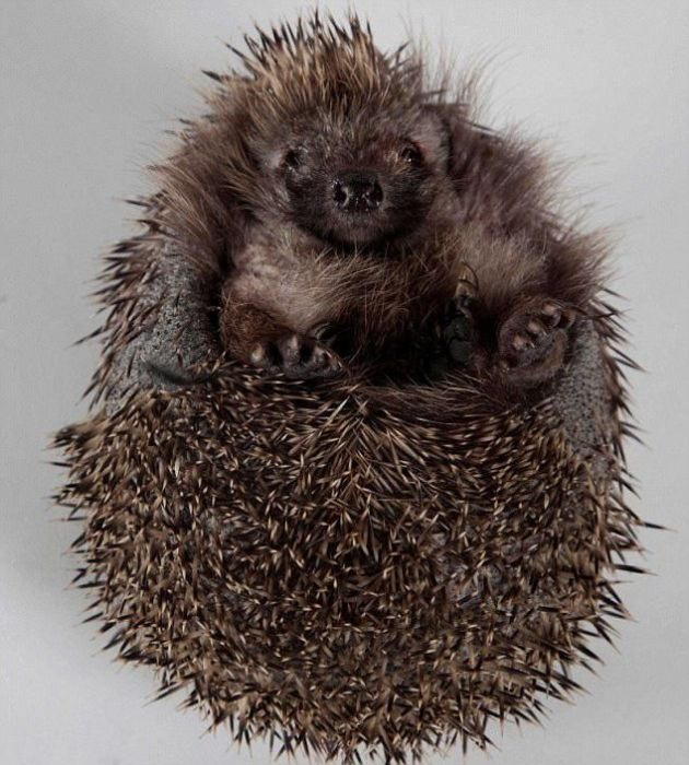 Recovery of a Hedgehog