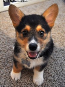 Pancake Is a Very Happy Corgi
