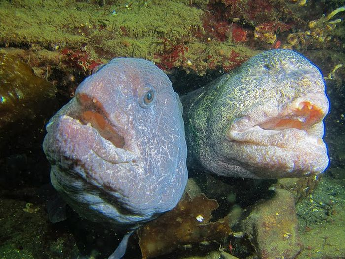 The Wolf Eel