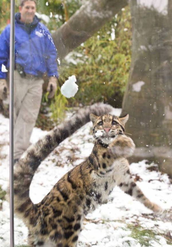 Leopard Playing with Snow