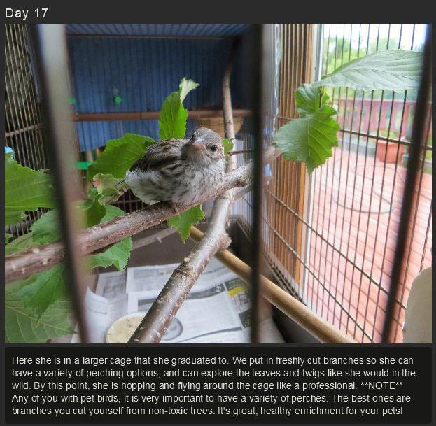 Raising a Baby Songbird