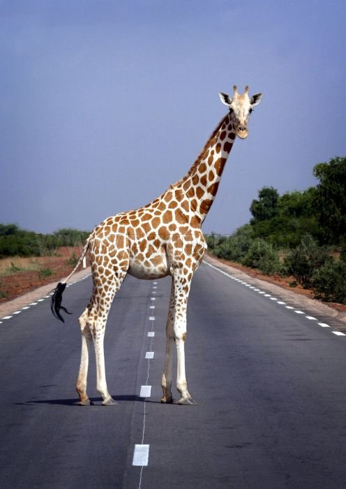 Animals Crossing the Roads