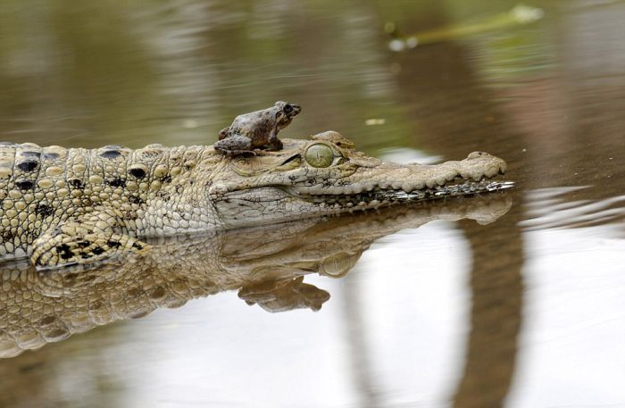 Frog on a Crocodile's Nose