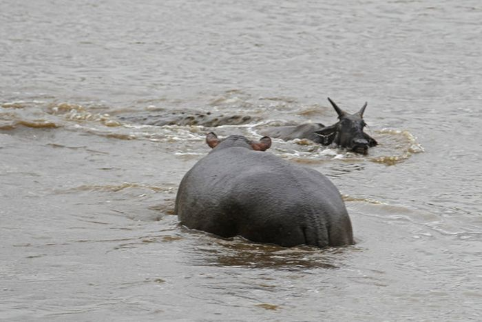 Hippo Saves Gnu from Crocodile