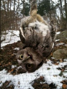 Saving an Owl