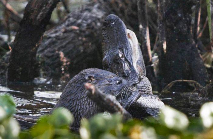 Otter Kills an Alligator