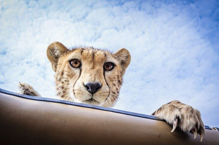 Why You Should Always Close Your Car's Sunroof on Safari