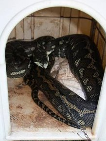 Giant Python Swallowed a Pet Dog