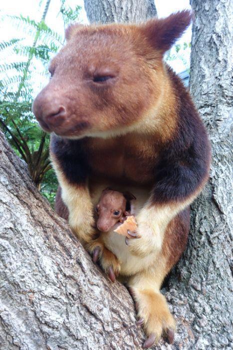 Baby Tree Kangaroo Joey | Animals