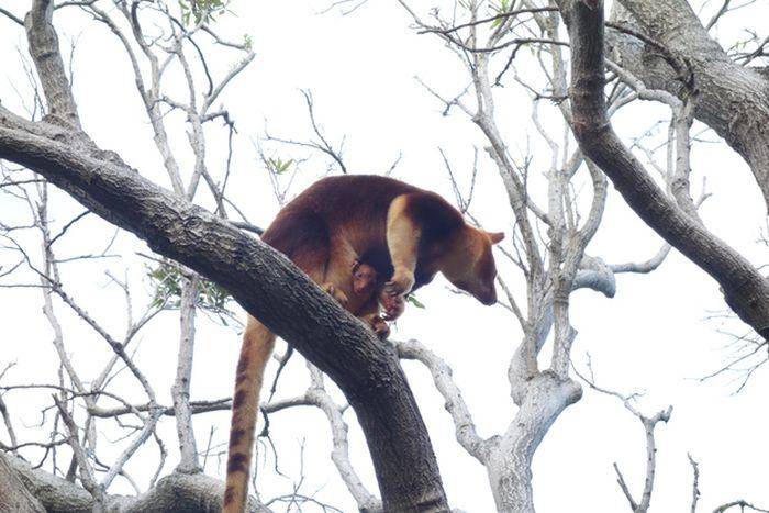 Baby Tree Kangaroo Joey