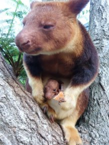 Baby Tree Kangaroo Joey