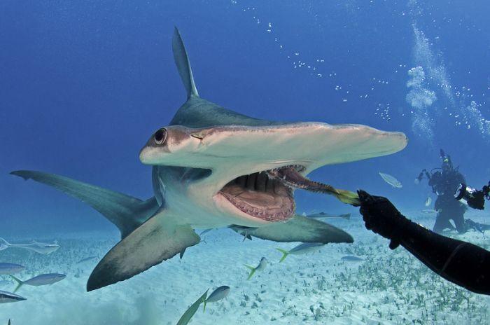 Diver Feeds Shark